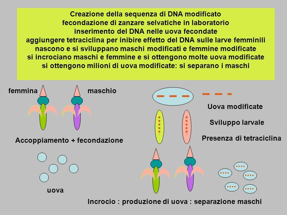 Creazione della sequenza di DNA modificato fecondazione di zanzare selvatiche in laboratorio inserimento del DNA nelle uova fecondate aggiungere tetraciclina per inibire effetto del DNA sulle larve femminili nascono e si sviluppano maschi modificati e femmine modificate si incrociano maschi e femmine e si ottengono molte uova modificate si ottengono milioni di uova modificate: si separano i maschi femminamaschio Accoppiamento + fecondazione uova Uova modificate Sviluppo larvale Presenza di tetraciclina Incrocio : produzione di uova : separazione maschi