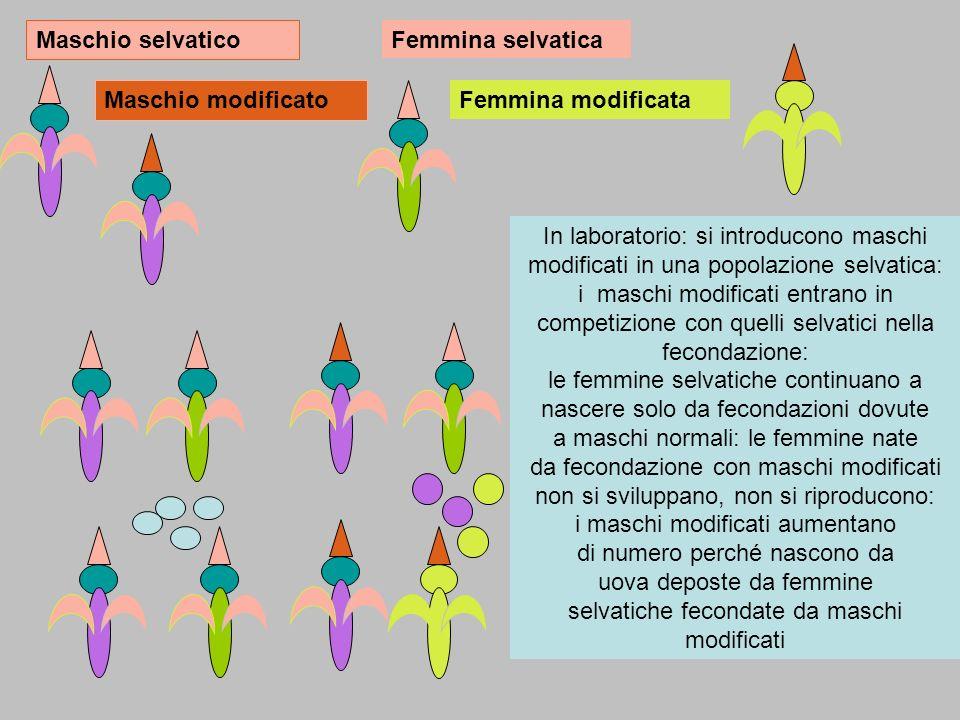 Maschio selvatico Maschio modificato Femmina selvatica Femmina modificata In laboratorio: si introducono maschi modificati in una popolazione selvatica: i maschi modificati entrano in competizione con quelli selvatici nella fecondazione: le femmine selvatiche continuano a nascere solo da fecondazioni dovute a maschi normali: le femmine nate da fecondazione con maschi modificati non si sviluppano, non si riproducono: i maschi modificati aumentano di numero perché nascono da uova deposte da femmine selvatiche fecondate da maschi modificati