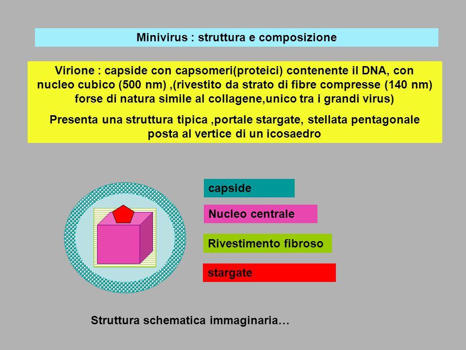 Replicazione del minivirus :ipotesi Una ameba fagocita il minivirus che migra verso i lisosomi: gli enzini lisosomiali inducono la apertura del portale stargate permettendo al DNA di penetrare nel citoplasma dellameba: nel citoplasma, sfruttando il meccanismo biochimico dellospite avviene la sintesi dei componenti del minivirus: capside (privo di strato fibroso) nel quale penetra il DNA, attraverso una apertura diversa da quella di uscita (stargate…)