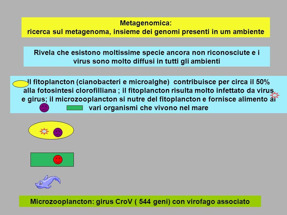 Fitoplancton: microalga Emiliani huxleyi :infettata da girus EhV( 472 geni?) La microalga produce anche piccole scaglie di carbonato di calcio: periodicamente, nei due emisferi, avviene una estesissima fioritura di alghe che viene ad un certo punto troncata per la presenza di EhV: come conseguenza il carbonato di calcio si deposita originando grandi formazioni stratificate di roccia calcarea (organogena) La morte delle alghe libera un composto che modificato da altri microrganismi genera dimetilsolfuro (partecipa allodore dellacqua di mare):il dimetilsolfuro liberandosi nellatmosfera favorisce la formazione di nubi e pioggia