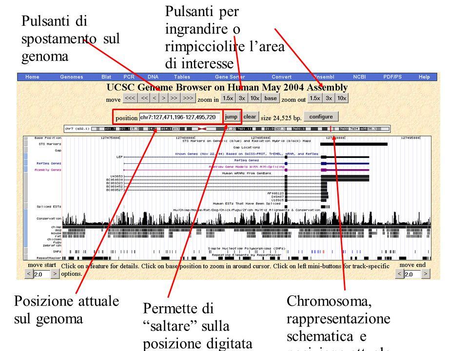 Pulsanti di spostamento sul genoma Pulsanti per ingrandire o rimpicciolire larea di interesse Posizione attuale sul genoma Permette di saltare sulla posizione digitata sulla finestra di sinistra Chromosoma, rappresentazione schematica e posizione attuale