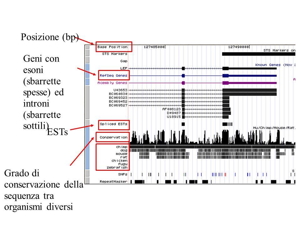 Posizione (bp) Geni con esoni (sbarrette spesse) ed introni (sbarrette sottili) ESTs Grado di conservazione della sequenza tra organismi diversi