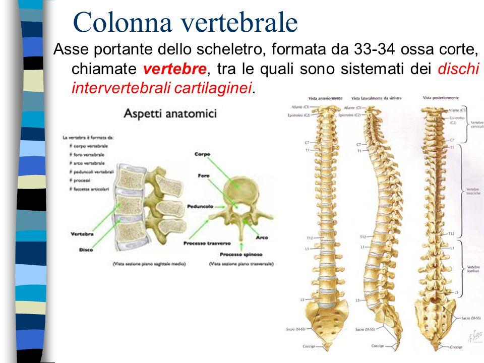 Colonna vertebrale Asse portante dello scheletro, formata da 33-34 ossa corte, chiamate vertebre, tra le quali sono sistemati dei dischi intervertebra