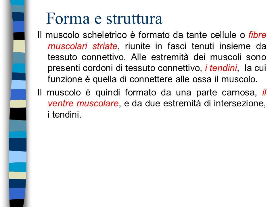 Forma e struttura Il muscolo scheletrico è formato da tante cellule o fibre muscolari striate, riunite in fasci tenuti insieme da tessuto connettivo.