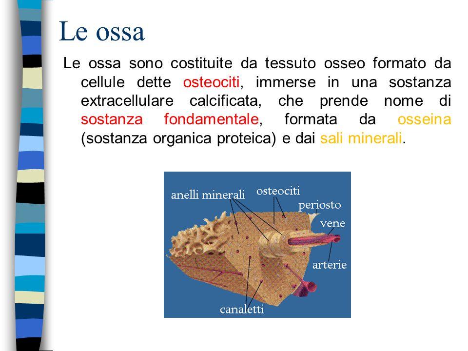 Le ossa Le ossa sono costituite da tessuto osseo formato da cellule dette osteociti, immerse in una sostanza extracellulare calcificata, che prende no