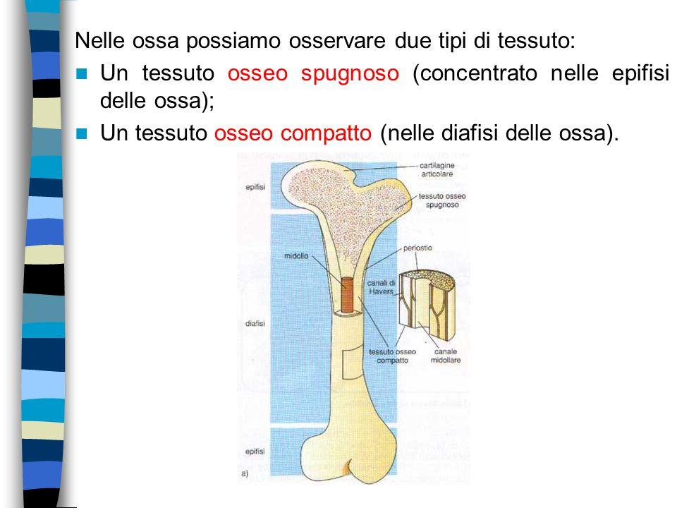 Nelle ossa possiamo osservare due tipi di tessuto: Un tessuto osseo spugnoso (concentrato nelle epifisi delle ossa); Un tessuto osseo compatto (nelle