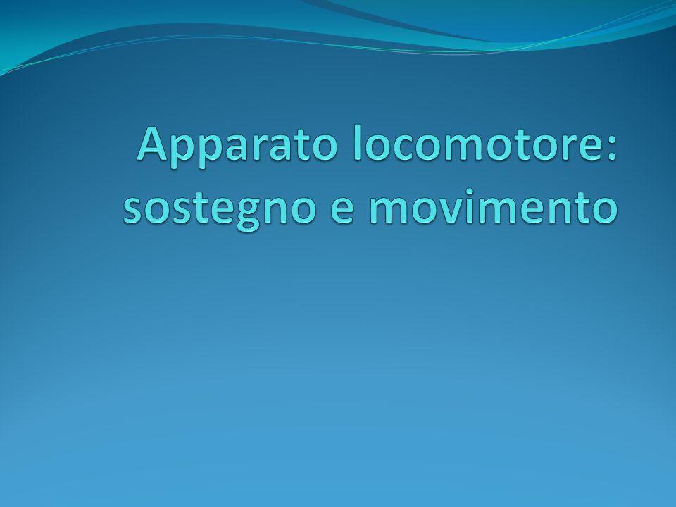 Lapparato locomotore comprende: Ossa; Articolazioni (con legamenti e capsule); I muscoli striati; I legamenti.