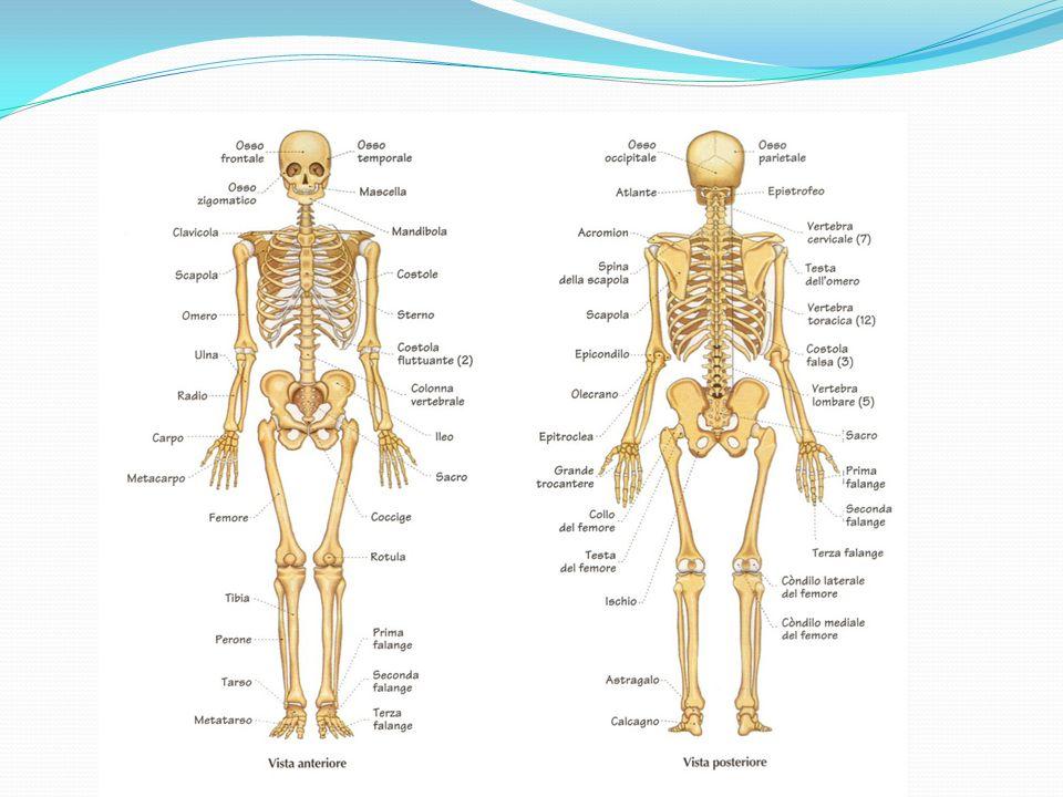 Composizione dello scheletro Lo scheletro umano è formato da 206 ossa, con forma e funzione diverse.