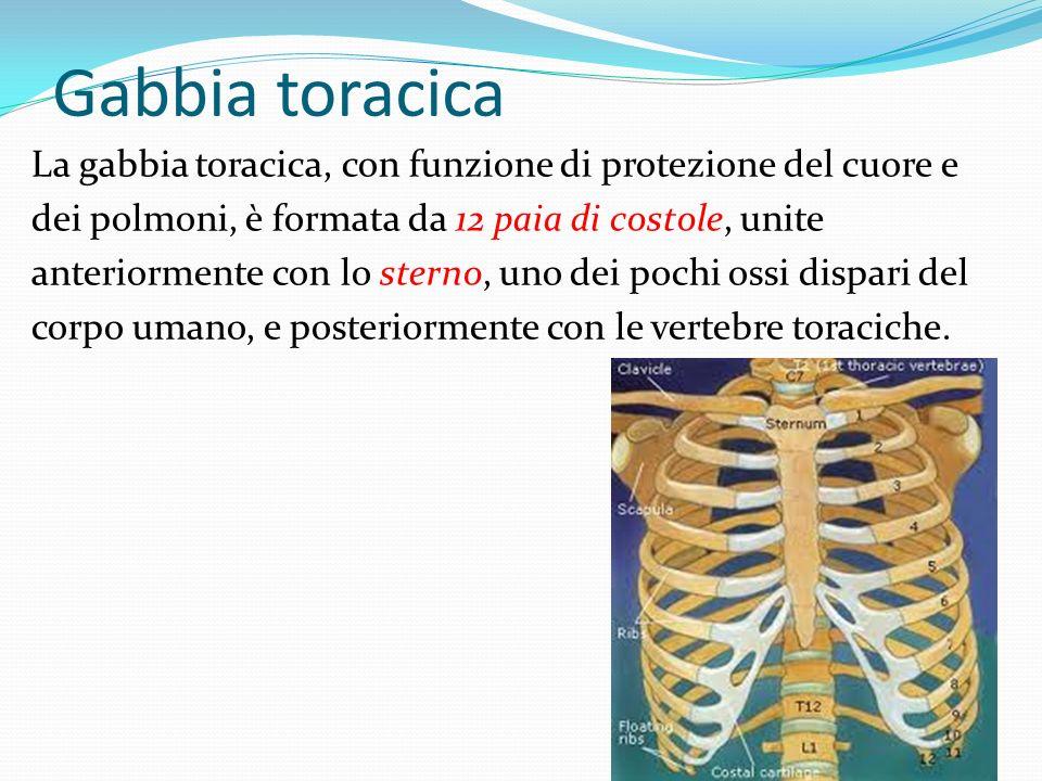 Gabbia toracica La gabbia toracica, con funzione di protezione del cuore e dei polmoni, è formata da 12 paia di costole, unite anteriormente con lo st