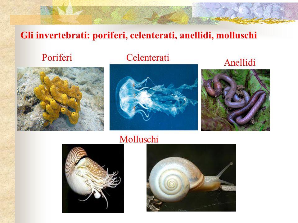 Gli invertebrati: poriferi, celenterati, anellidi, molluschi Molluschi Anellidi CelenteratiPoriferi