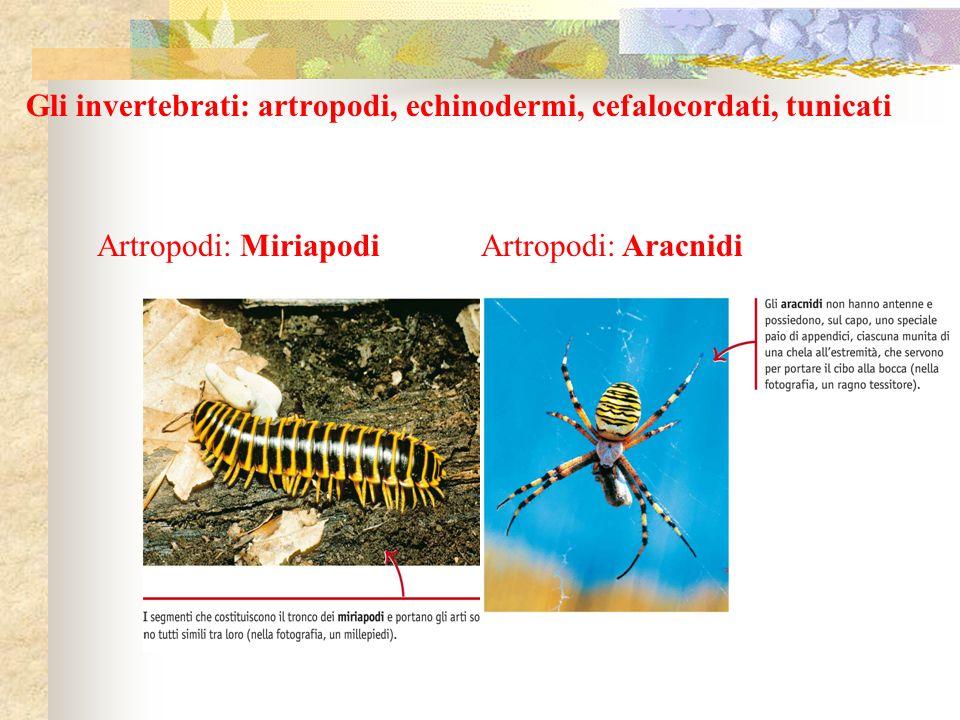 Gli invertebrati: artropodi, echinodermi, cefalocordati, tunicati Artropodi: MiriapodiArtropodi: Aracnidi