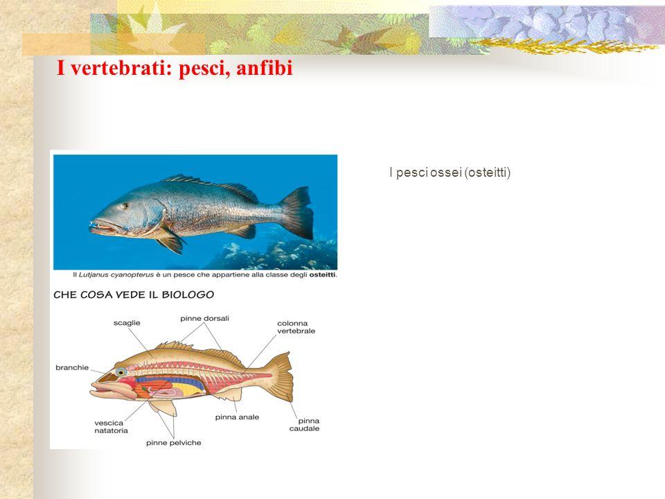 I vertebrati: pesci, anfibi I pesci ossei (osteitti)