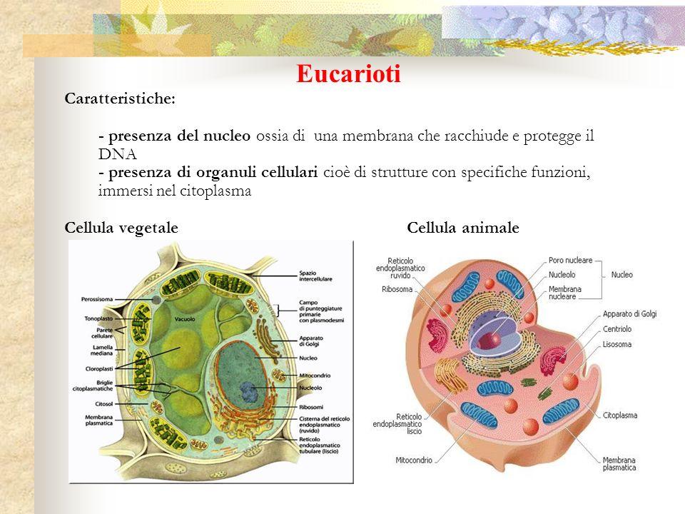 Eucarioti Caratteristiche: - presenza del nucleo ossia di una membrana che racchiude e protegge il DNA - presenza di organuli cellulari cioè di strutt