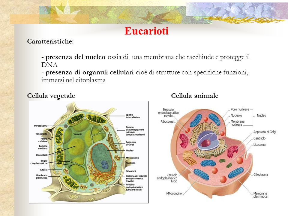 I vertebrati: pesci, anfibi Gli anfibi: fasi di sviluppo