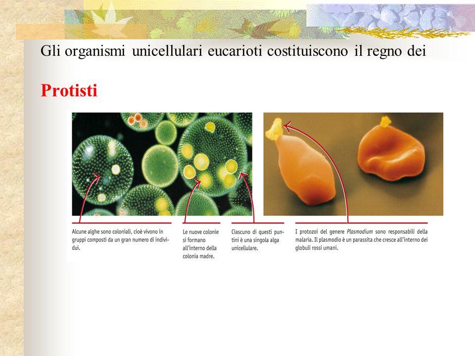 Funghi Caratteristiche: Corpo formato da strutture filamentose dette IFE, che crescono aggrovigliandosi in un MICELIO Parete esterna delle cellule ricoperta da CHITINA Eteretrofi Svolgono limportante funzione di decompositori (ma esistono anche funghi parassiti e simbionti)