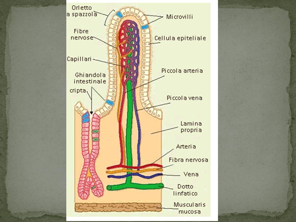 Lintestino grasso, con le sue tre porzioni è lultima parte del tubo digerente: non produce enzimi; è estremamente ricco di flora batterica che decompone ciò che rimane del cibo; I residui finali si raccolgono nel retto e poi vengono espulsi attraverso lano, sotto forma di feci.