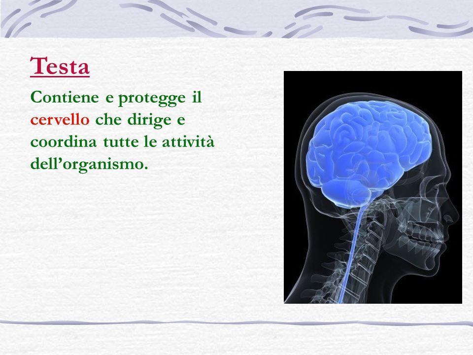 Testa Contiene e protegge il cervello che dirige e coordina tutte le attività dellorganismo.