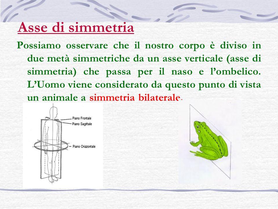 Possiamo osservare che il nostro corpo è diviso in due metà simmetriche da un asse verticale (asse di simmetria) che passa per il naso e lombelico. LU