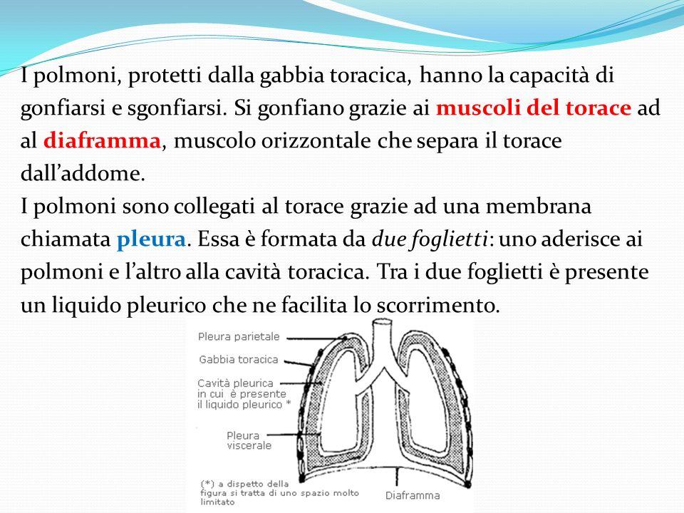I polmoni, protetti dalla gabbia toracica, hanno la capacità di gonfiarsi e sgonfiarsi. Si gonfiano grazie ai muscoli del torace ad al diaframma, musc