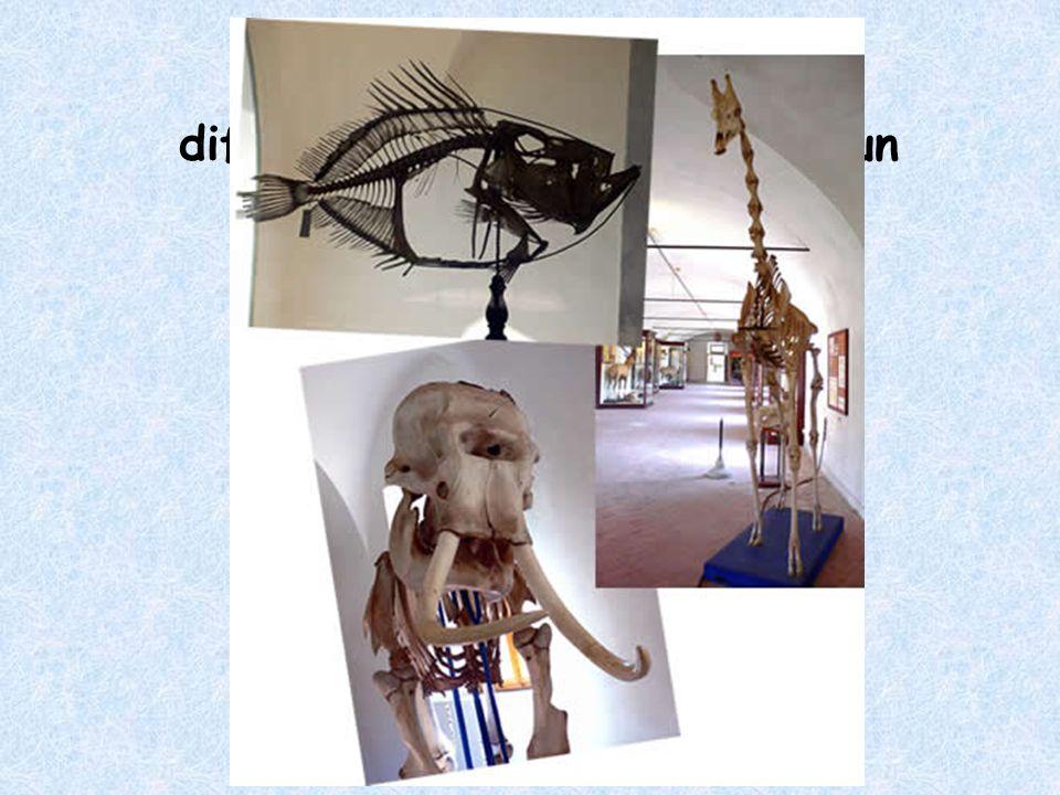 Al livello di scheletro, che differenza cè fra un pesce, un elefante e una giraffa?