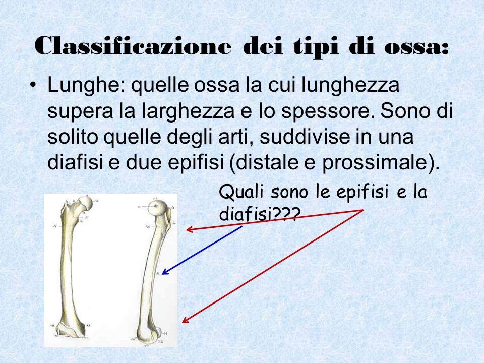 Classificazione dei tipi di ossa: Lunghe: quelle ossa la cui lunghezza supera la larghezza e lo spessore. Sono di solito quelle degli arti, suddivise