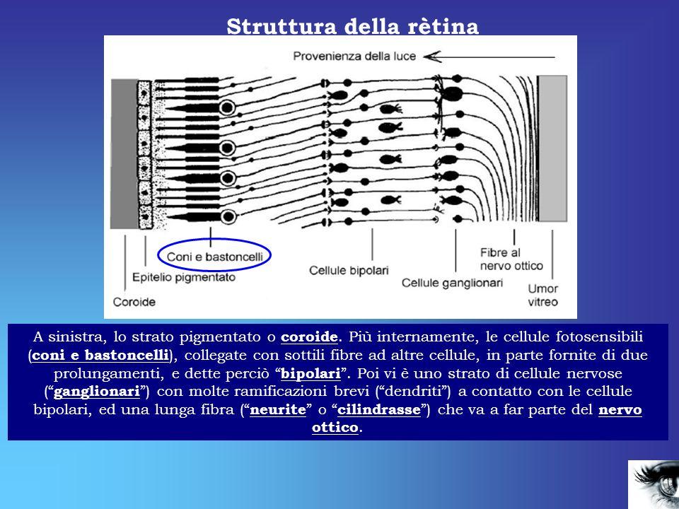 Struttura della rètina A sinistra, lo strato pigmentato o coroide. Più internamente, le cellule fotosensibili ( coni e bastoncelli ), collegate con so