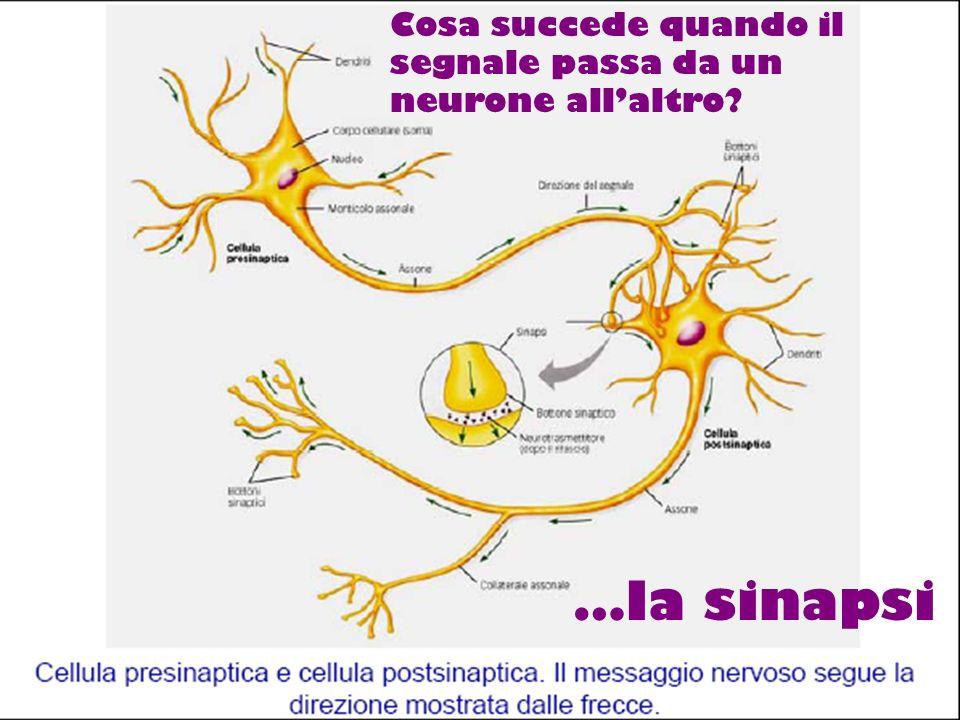 Cosa succede quando il segnale passa da un neurone allaltro? …la sinapsi