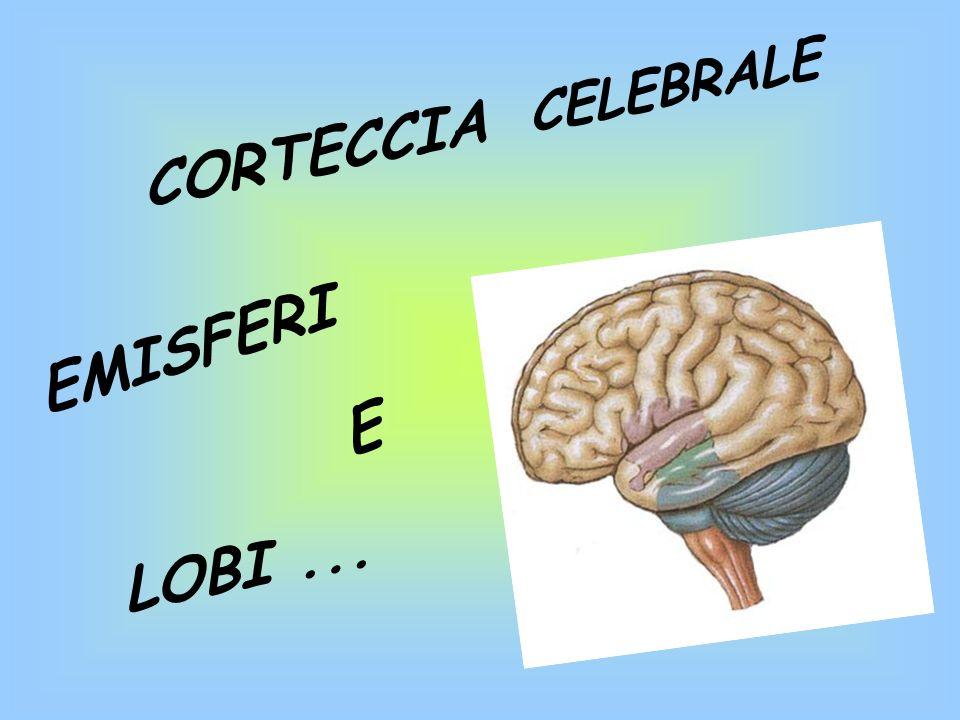 CORTECCIA CELEBRALE EMISFERI E LOBI...