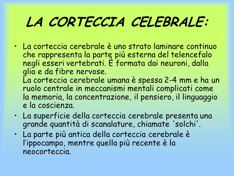 LA CORTECCIA CELEBRALE: La corteccia cerebrale è uno strato laminare continuo che rappresenta la parte più esterna del telencefalo negli esseri verteb