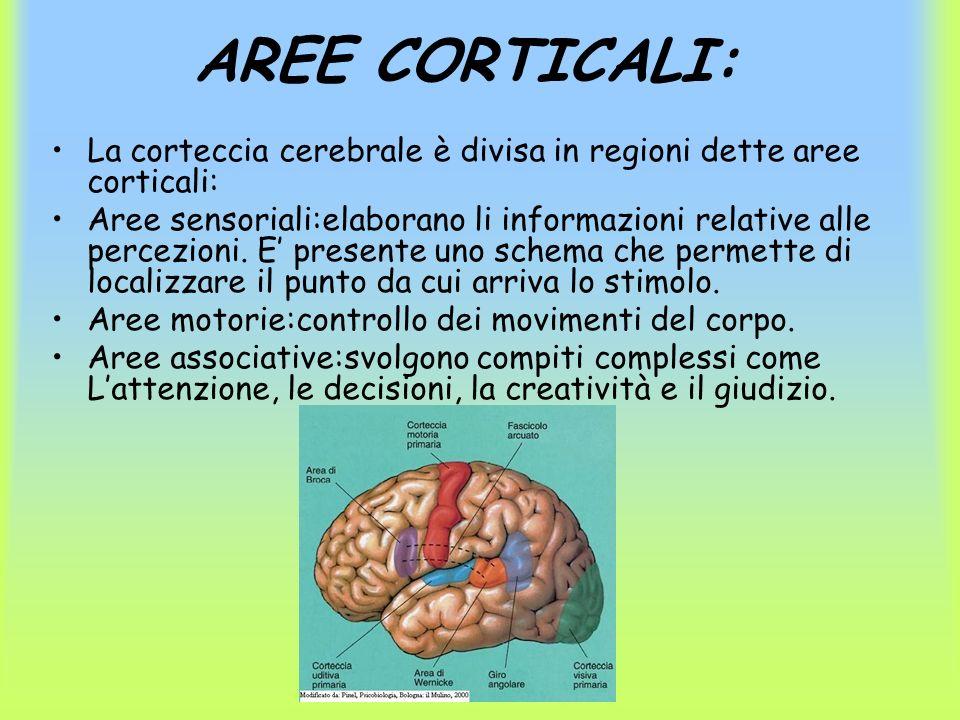 AREE CORTICALI: La corteccia cerebrale è divisa in regioni dette aree corticali: Aree sensoriali:elaborano li informazioni relative alle percezioni. E