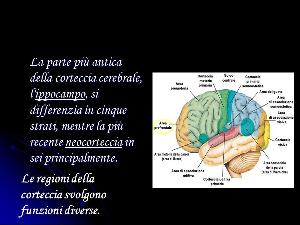 La parte più antica della corteccia cerebrale, l'ippocampo, si differenzia in cinque strati, mentre la più recente neocorteccia in sei principalmente.