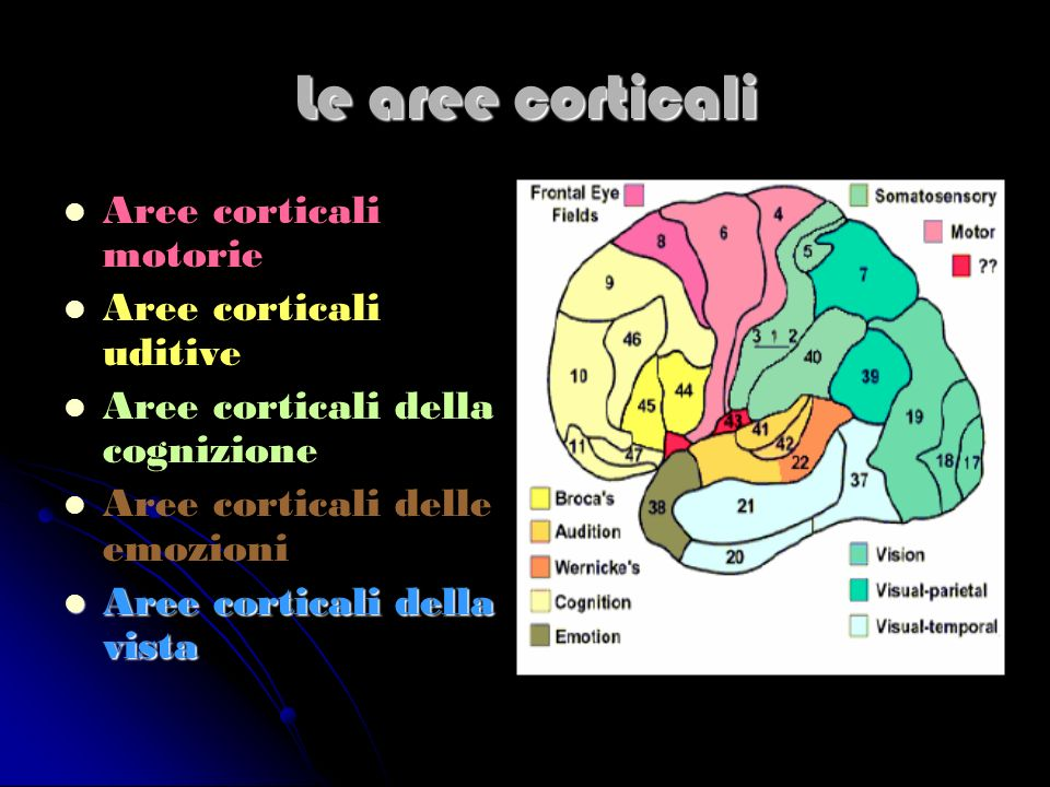 Le aree corticali Aree corticali motorie Aree corticali uditive Aree corticali della cognizione Aree corticali delle emozioni Aree corticali della vis