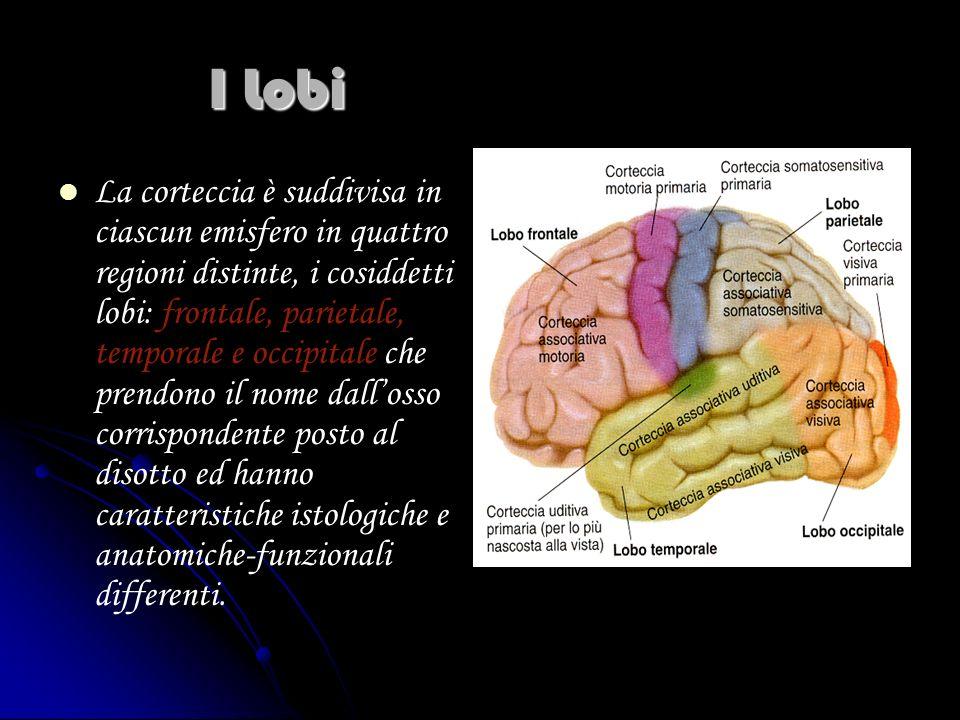 I Lobi La corteccia è suddivisa in ciascun emisfero in quattro regioni distinte, i cosiddetti lobi: frontale, parietale, temporale e occipitale che pr