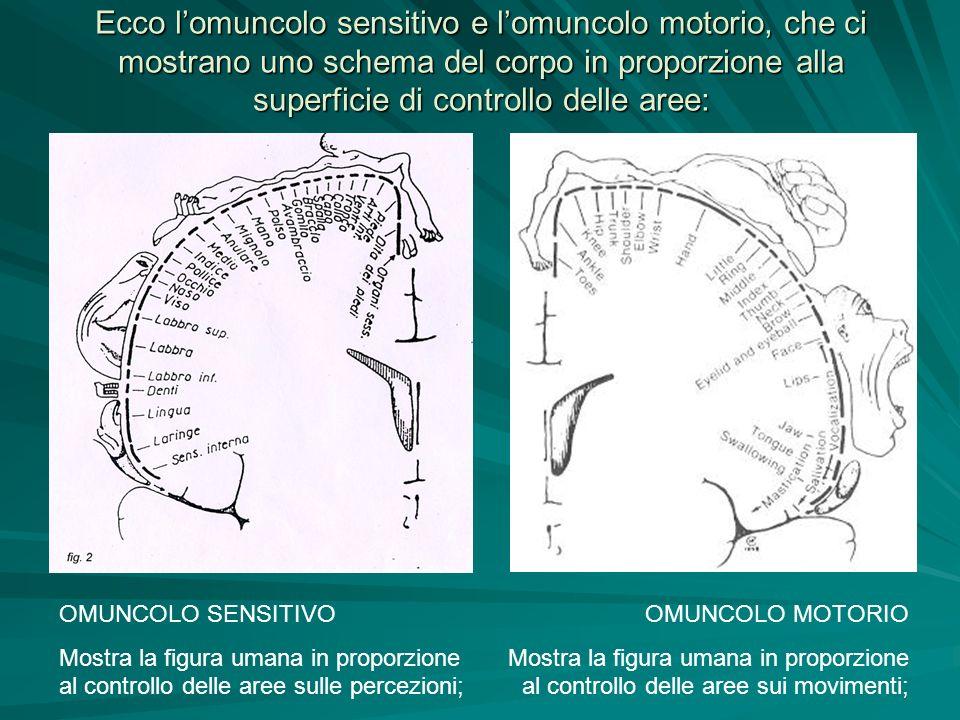 Ecco lomuncolo sensitivo e lomuncolo motorio, che ci mostrano uno schema del corpo in proporzione alla superficie di controllo delle aree: OMUNCOLO SE