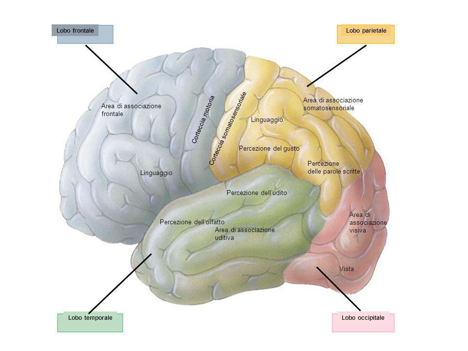 Lobo frontaleLobo parietale Lobo occipitaleLobo temporale Area di associazione frontale Corteccia motoria Corteccia somatosensoriale Area di associazi