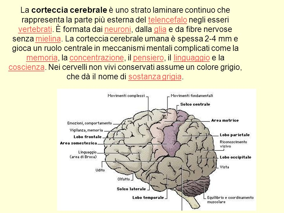 La corteccia cerebrale è uno strato laminare continuo che rappresenta la parte più esterna del telencefalo negli esseri vertebrati. È formata dai neur