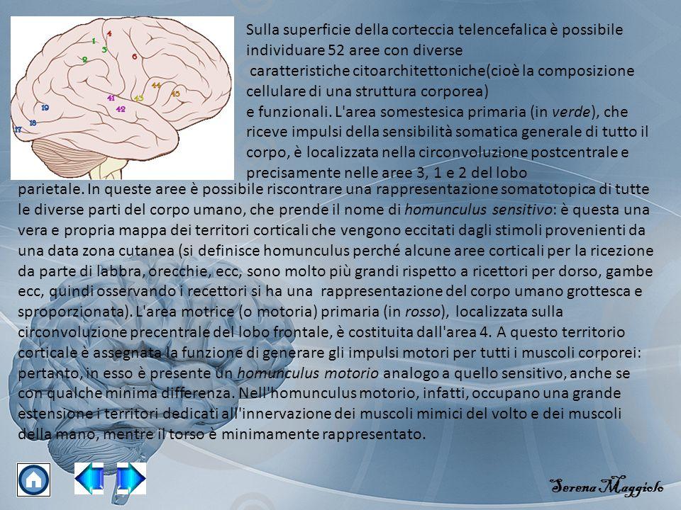 Sulla superficie della corteccia telencefalica è possibile individuare 52 aree con diverse caratteristiche citoarchitettoniche(cioè la composizione cellulare di una struttura corporea) e funzionali.