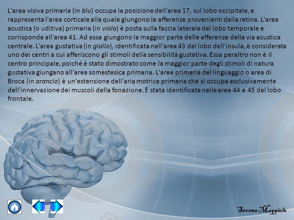 L'area visiva primaria (in blu) occupa la posizione dell'area 17, sul lobo occipitale, e rappresenta l'area corticale alla quale giungono le afferenze