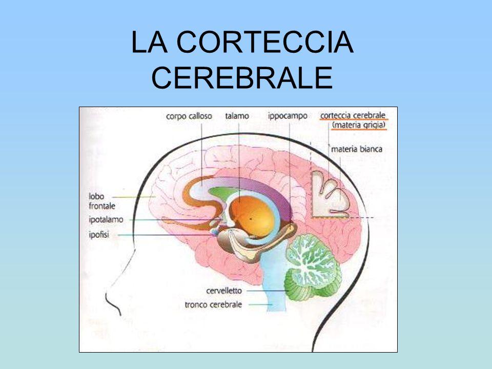 La corteccia cerebrale,detta materia grigia,presenta ripiegature(circonvoluzioni)divise da solchi.