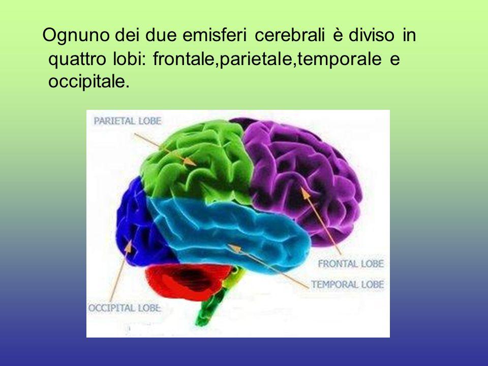 Larea del lobo frontale è la corteccia motoria;qui avviene lintegrazione delle attività svolte dai muscoli scheletrici.