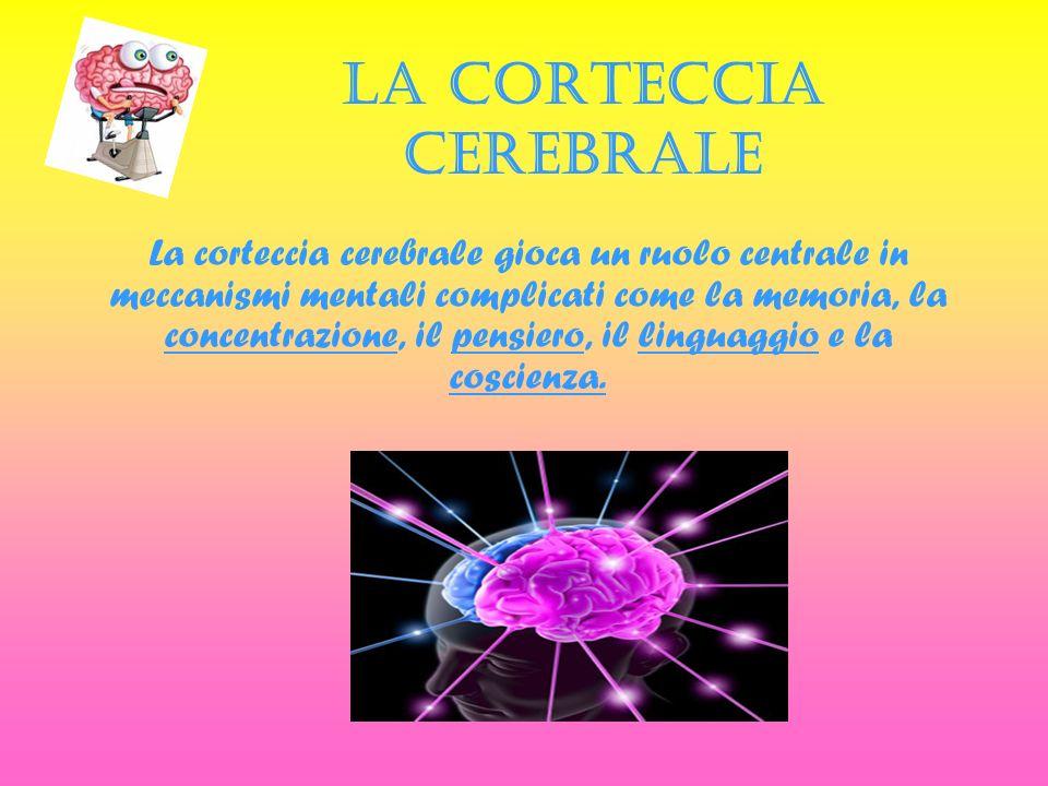 LA CORTECCIA CEREBRALE La corteccia cerebrale gioca un ruolo centrale in meccanismi mentali complicati come la memoria, la concentrazione, il pensiero