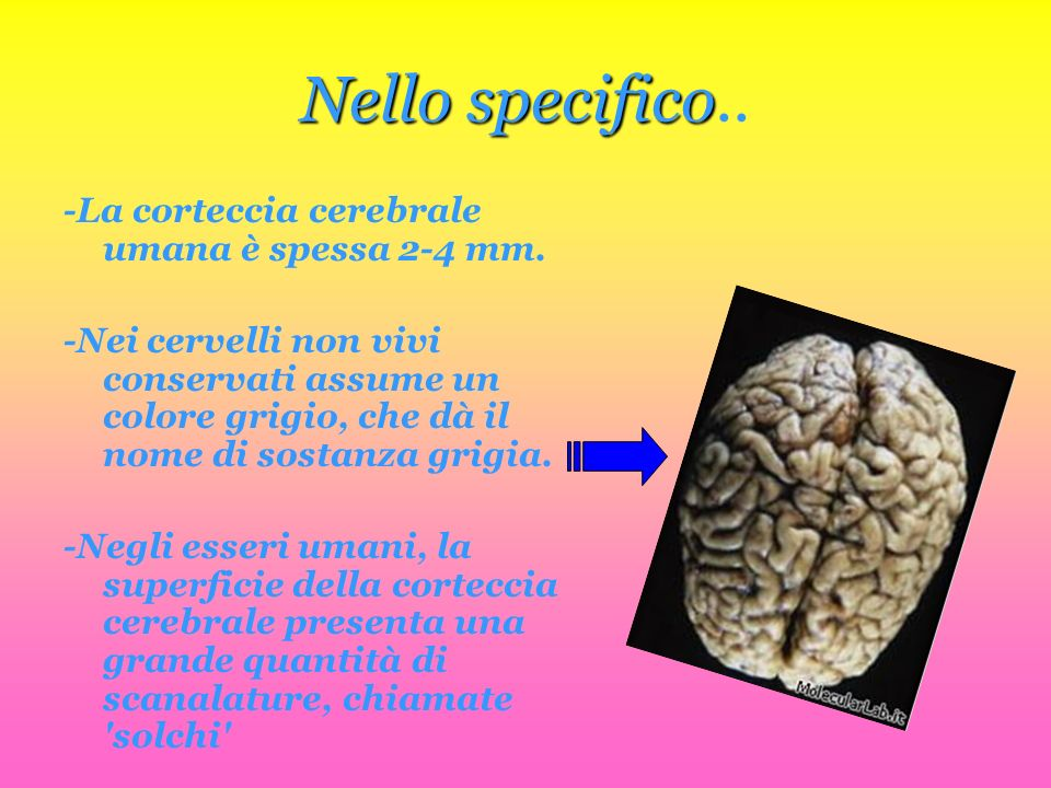 Nellospecifico Nello specifico.. -La corteccia cerebrale umana è spessa 2-4 mm. -Nei cervelli non vivi conservati assume un colore grigio, che dà il n