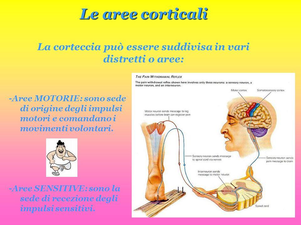 Le aree corticali Le aree corticali La corteccia può essere suddivisa in vari distretti o aree: -Aree MOTORIE: sono sede di origine degli impulsi moto