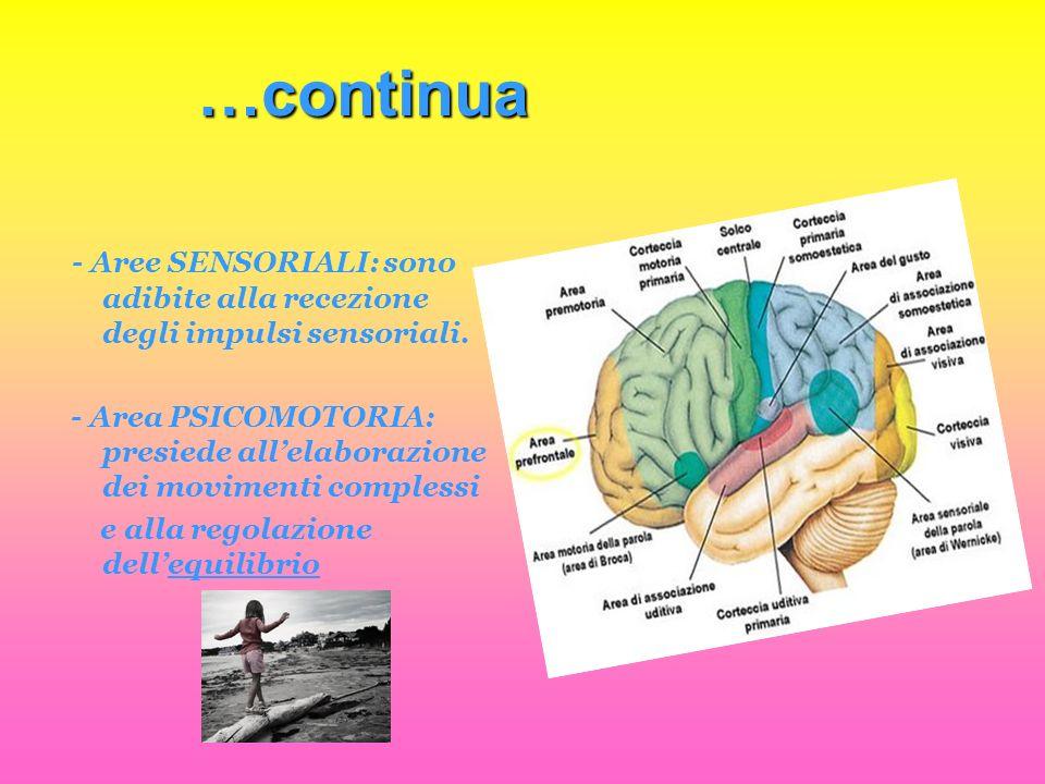 …continua - Aree SENSORIALI: sono adibite alla recezione degli impulsi sensoriali. - Area PSICOMOTORIA: presiede allelaborazione dei movimenti comples