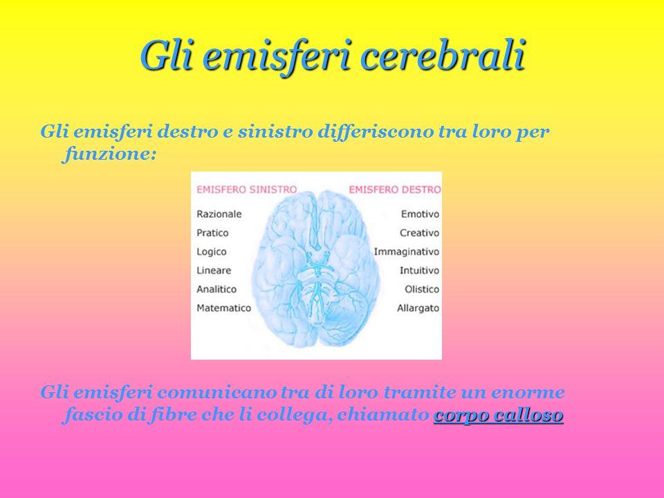 Gli emisferi cerebrali Gli emisferi destro e sinistro differiscono tra loro per funzione: Gli emisferi comunicano tra di loro tramite un enorme fascio