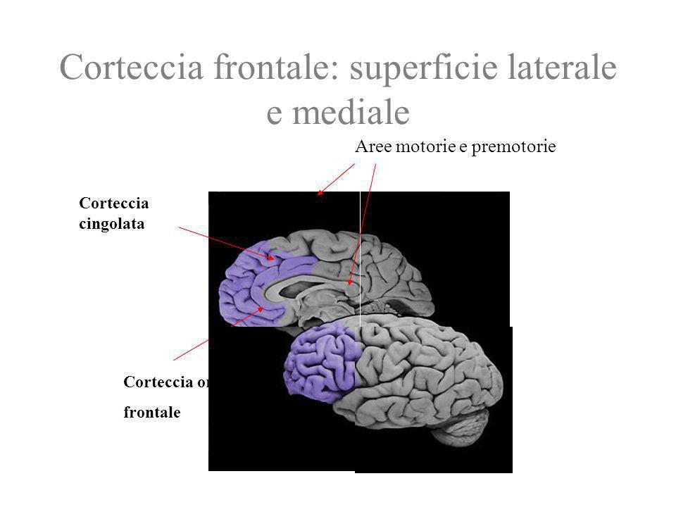 Corteccia frontale: superficie laterale e mediale Corteccia cingolata Corteccia orbito- frontale Aree motorie e premotorie