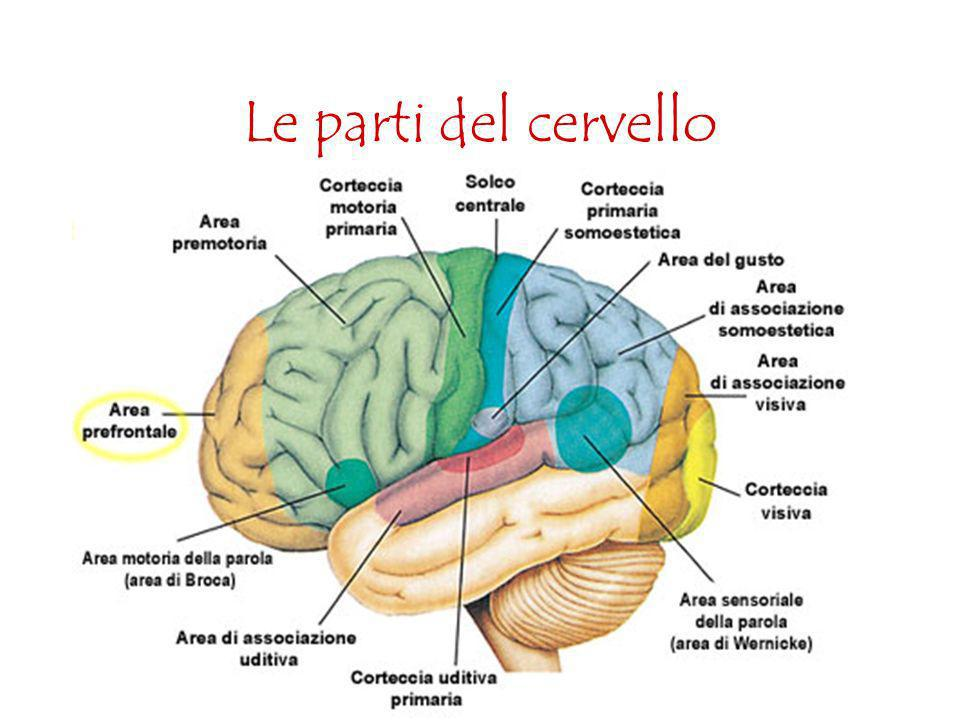 Le parti del cervello