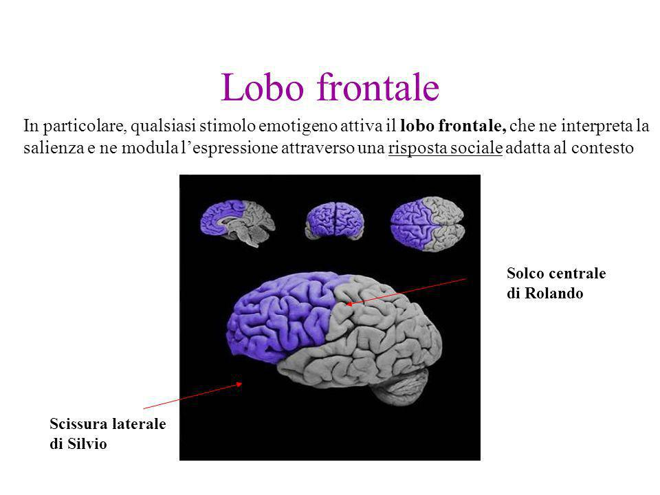 Lobo frontale Scissura laterale di Silvio Solco centrale di Rolando In particolare, qualsiasi stimolo emotigeno attiva il lobo frontale, che ne interp