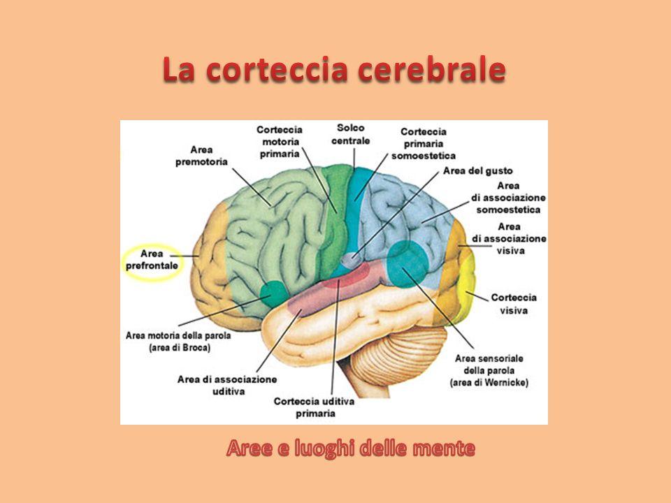 La corteccia cerebrale è uno strato laminare continuo che rappresenta la parte più esterna del telencefalo telencefalo negli esseri vertebrati.vertebrati È formata dai neuroni, dalla glia eneuroniglia da fibre nervose senza mielina.mielina Nei mammiferi maggiori, come gli esseri umani,mammiferi la superficie della corteccia cerebrale presenta una grande quantità di scanalature, chiamate solchi .