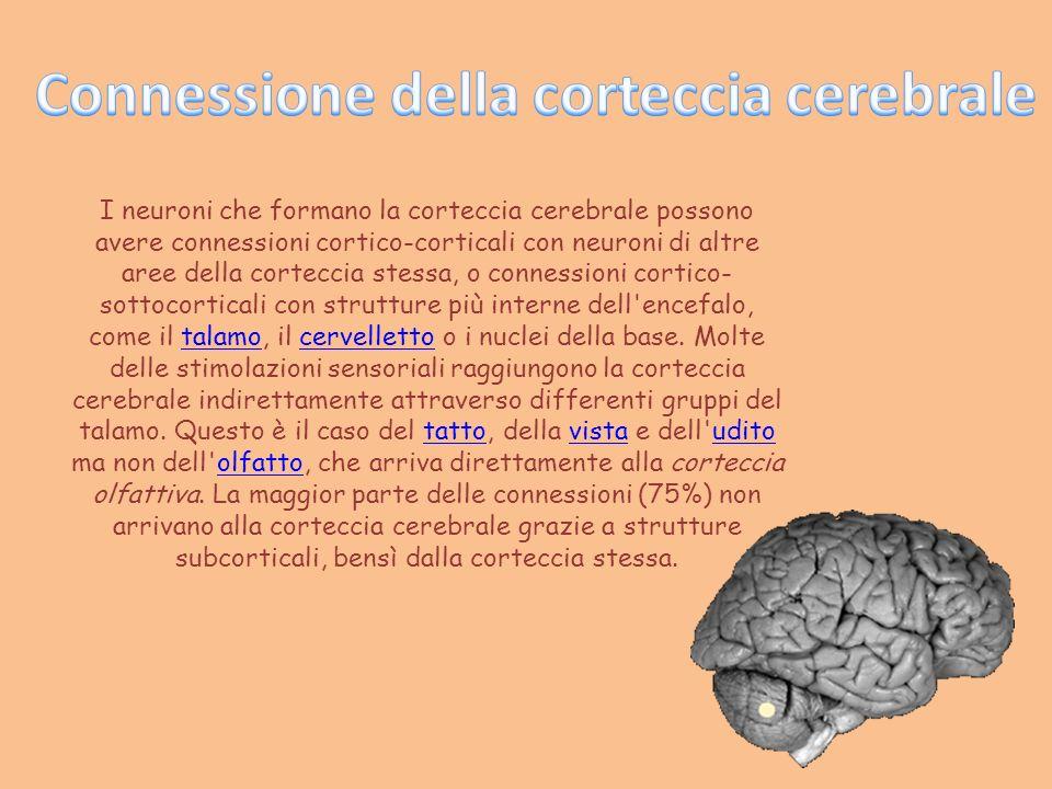 I neuroni che formano la corteccia cerebrale possono avere connessioni cortico-corticali con neuroni di altre aree della corteccia stessa, o connessio